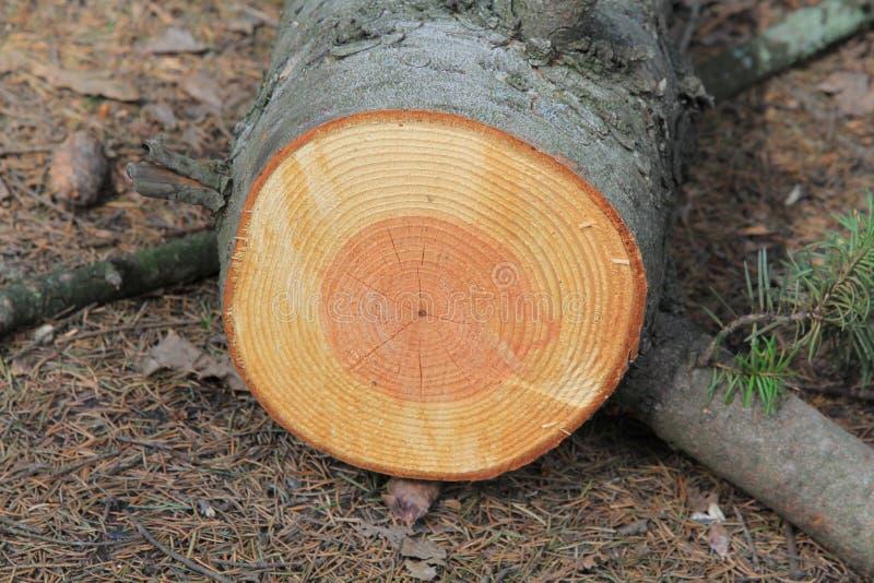 Les anneaux d'arbre sur l'arbre, comme un arbre font la chronique photo libre de droits