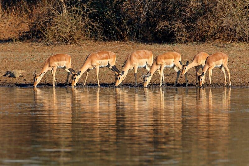 Les antilopes d'Impala : eau potable - Parc national de Kruger photos stock