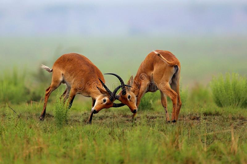 Les antilopes de Kobe combat sur la prairie africaine photos libres de droits