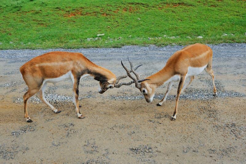 Les antilopes masculines d'impala combattent photos libres de droits