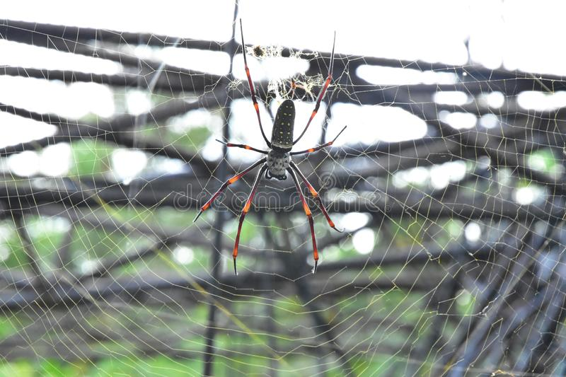 Les araignées de banane ou les globe-tisserands d'or vivent dans un secteur plus chaud sur le grand arbre images stock
