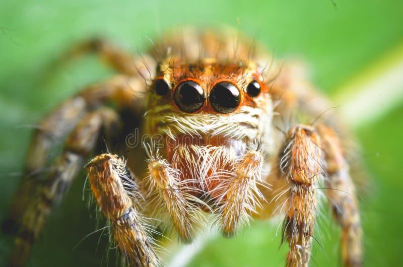 Les araignées sautant l'orange en nature dans la macro vue photographie stock libre de droits