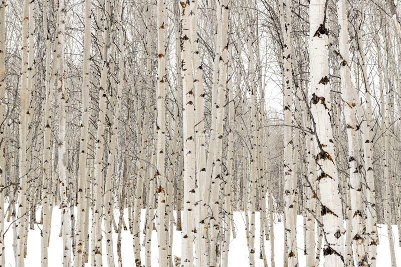 Les arbres d'Aspen en hiver avec de l'eau imbibé écorcent image stock