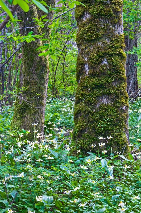 Les arbres dans la forêt entourée par un pré de Fawn Lily fleurit photo libre de droits