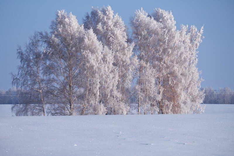 Les arbres de bouleau sous la gelée dans le domaine de neige en hiver assaisonnent photos stock