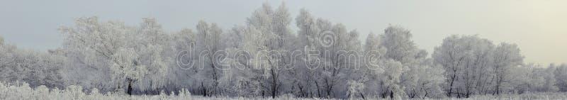 Les arbres de bouleau sous le panorama de neige de matin photo stock