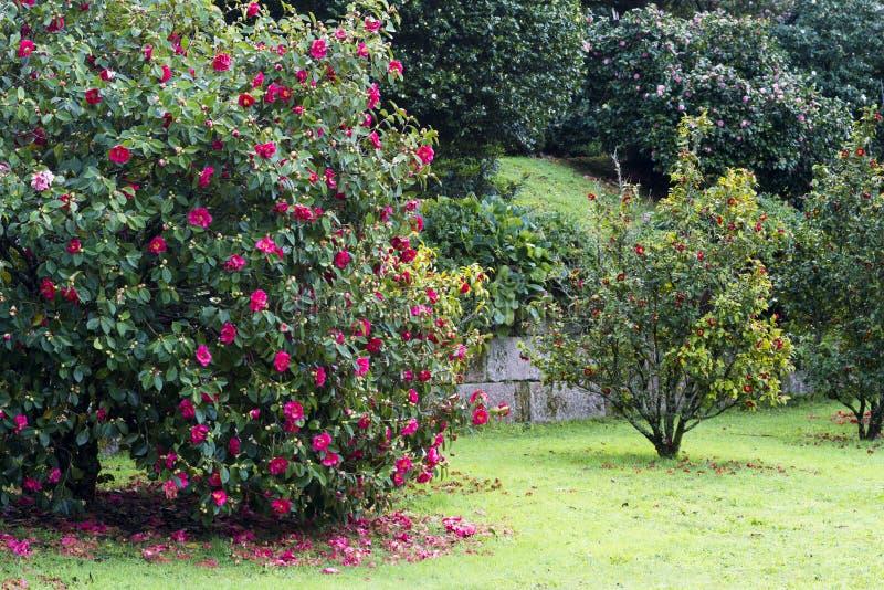 Les arbres de camélia font du jardinage à Soutomaior Espagne images libres de droits
