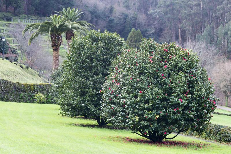 Les arbres de camélia font du jardinage à Soutomaior Espagne photo stock