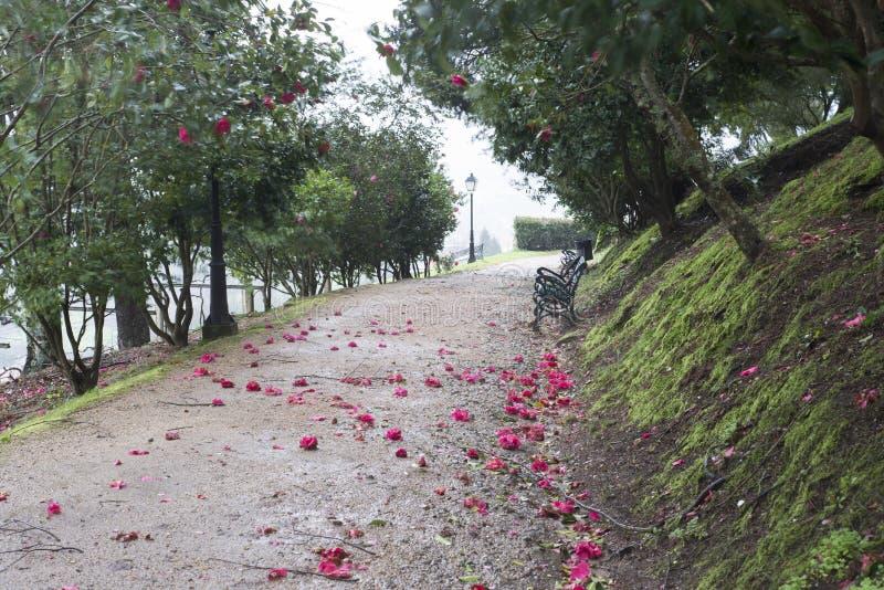 Les arbres de camélia font du jardinage à Soutomaior Espagne photographie stock libre de droits