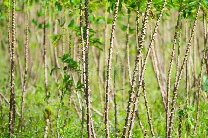 Les arbres de manioc se développent et les feuilles sont dans le jardin image libre de droits