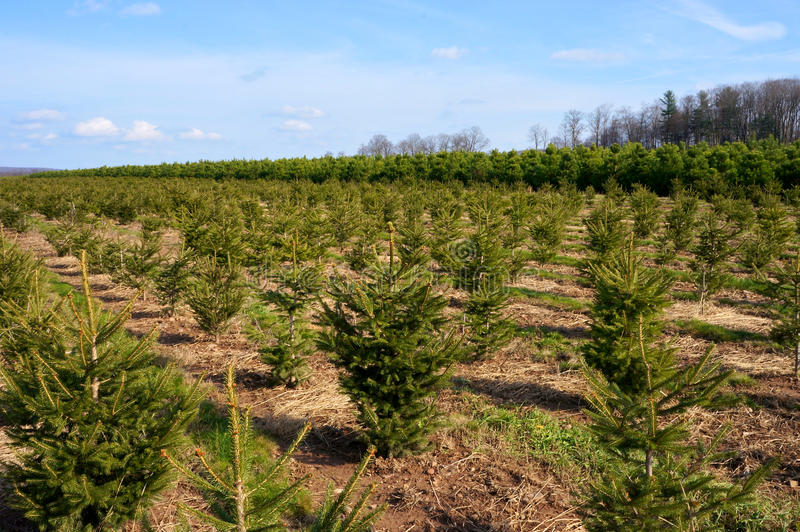 Les arbres de Noël aménagent #1 en parc photo stock