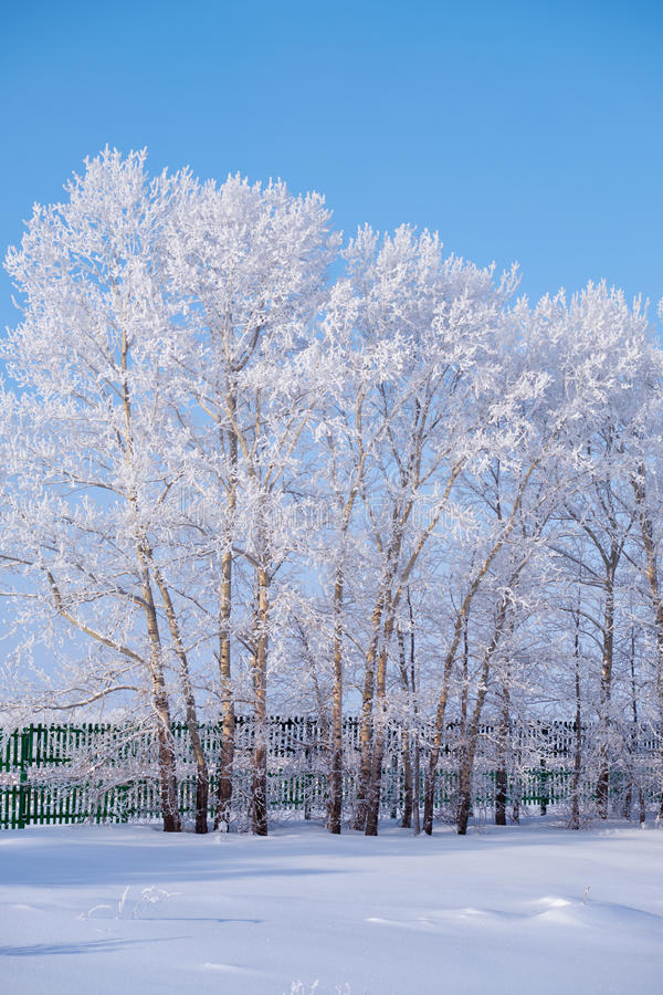 Les arbres de peuplier sous la gelée dans le domaine de neige en hiver assaisonnent photographie stock