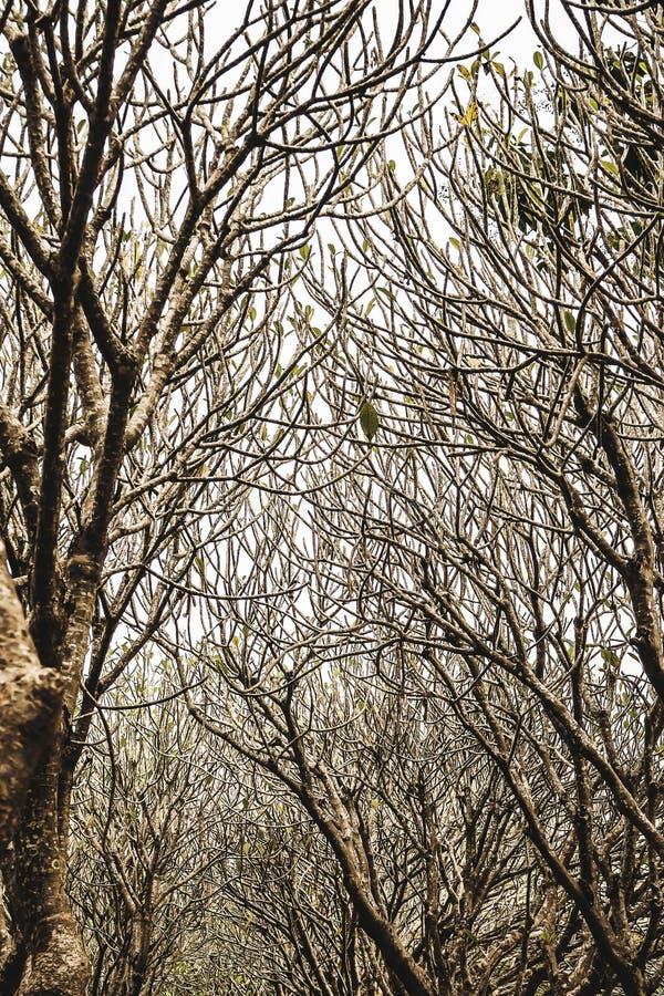 Les arbres de Plumeria percent un tunnel à la province de Nan, Thaïlande photo stock