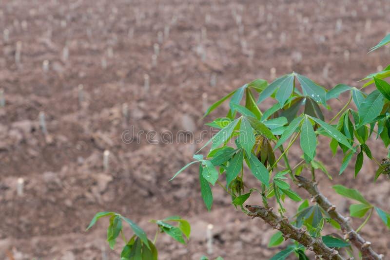 Les arbres de tapioca avec le champ brouillé de plantation photographie stock