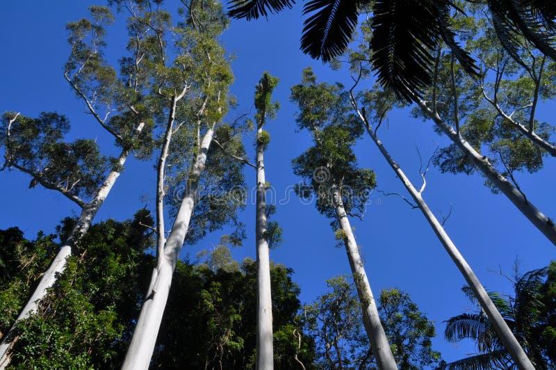 Les arbres droits grands d'eucalyptus effilent dans le ciel bleu photo stock