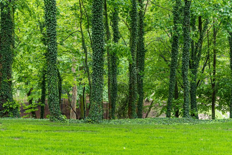 Les arbres en parc couvert dans le lierre Fond naturel vert photo stock