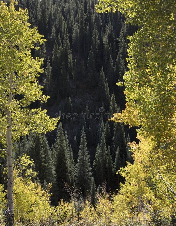 Les arbres ensoleillés et les trembles de conifère dans le passage de Kebler Crested la butte le Colorado Amérique dans le soleil photo stock