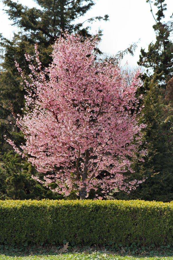 Les arbres fleurit au printemps photographie stock libre de droits