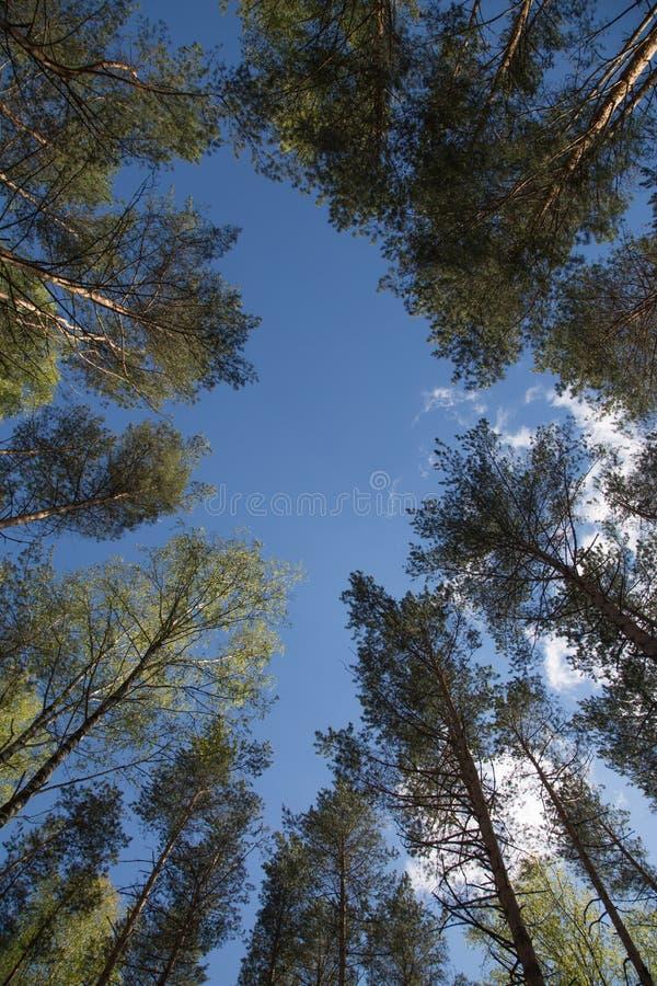 Les arbres grands entourent le fond d'angle faible de ciel bleu images libres de droits