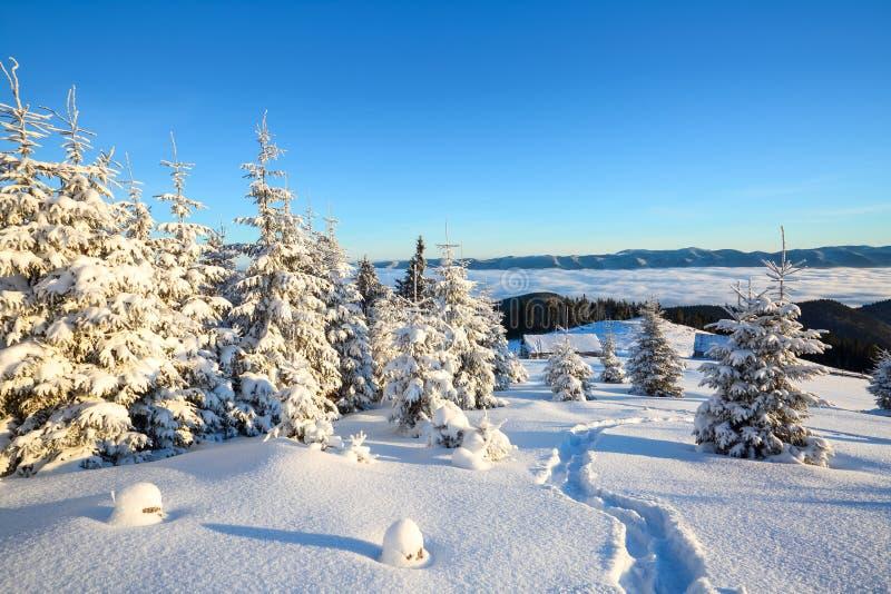 Les arbres impeccables se tiennent dans le pré de montagne balayé par neige sous un ciel bleu d'hiver Sur la pelouse couverte de  photo stock