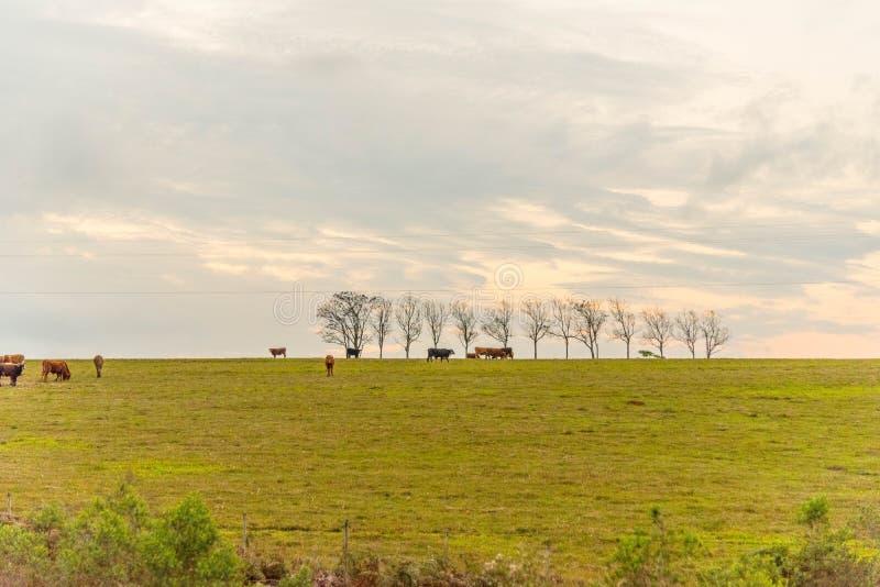 Les arbres jaunes 04 d'ipê photo libre de droits