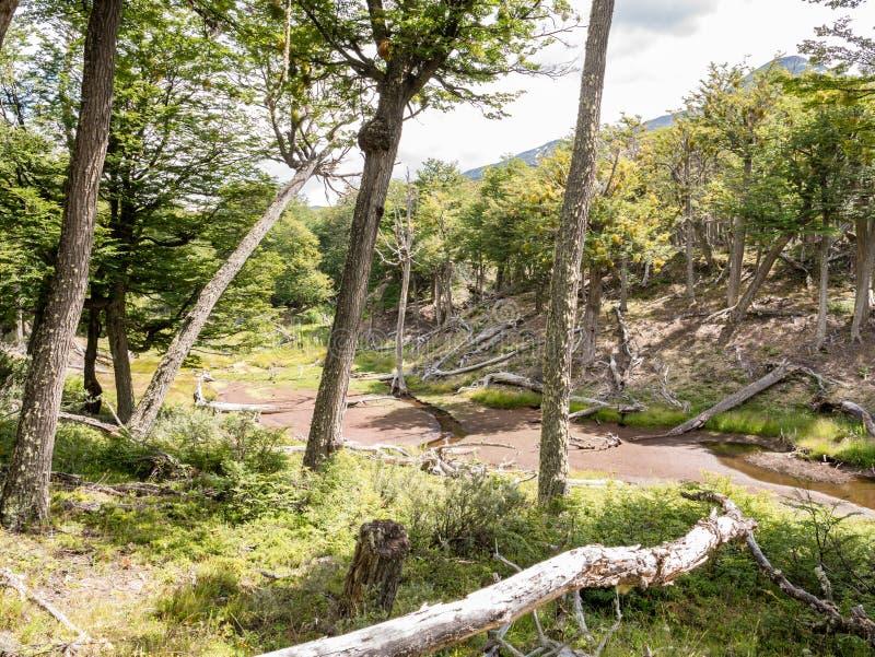 Les arbres morts ont causé par des castors en Tierra del Fuego National Park photographie stock libre de droits
