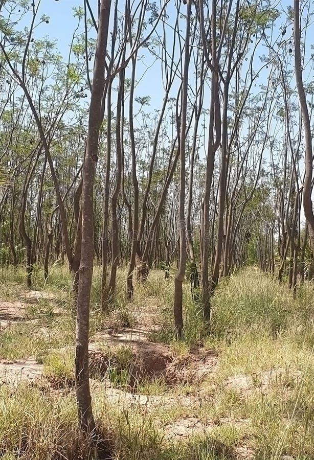 Les arbres ne sont pas de la forêt photo stock