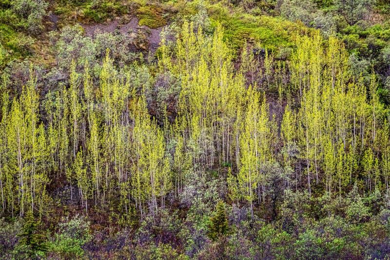 Les arbres printaniers à flanc de montagne images libres de droits