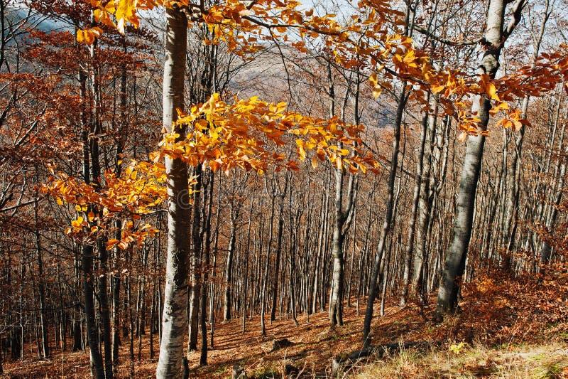 Les arbres rouges jaunes part sur le bois coloré de forêt d'automne photographie stock