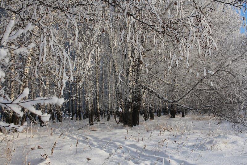 Les arbres russes de neige de forêt d'hiver neigent les voies couvertes de ski de bouleau de gel de neige de routes dans la neige images libres de droits