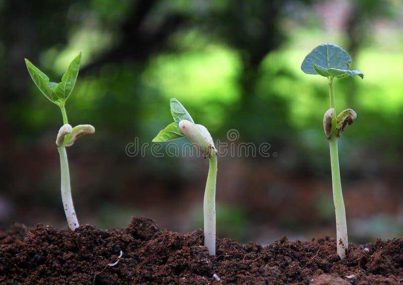 Les arbres s'élevant sur le sol fertile dans la germination ordonnancent/s'élevant images stock