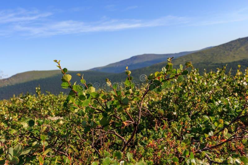 Les arbustes et les rhododendrons nains sont la base de Taiga Végétation de Taiga dans la perspective des montagnes d'Ural Usines images stock