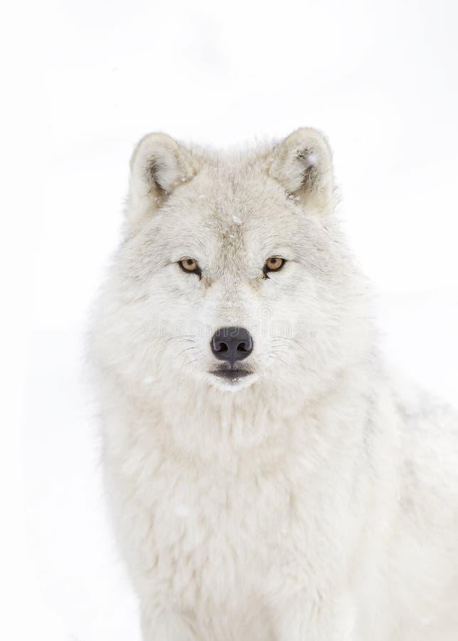 Les arctos d'un lupus de Canis de loup d'Arctique marchant pendant l'hiver neigent dans le Canada images stock
