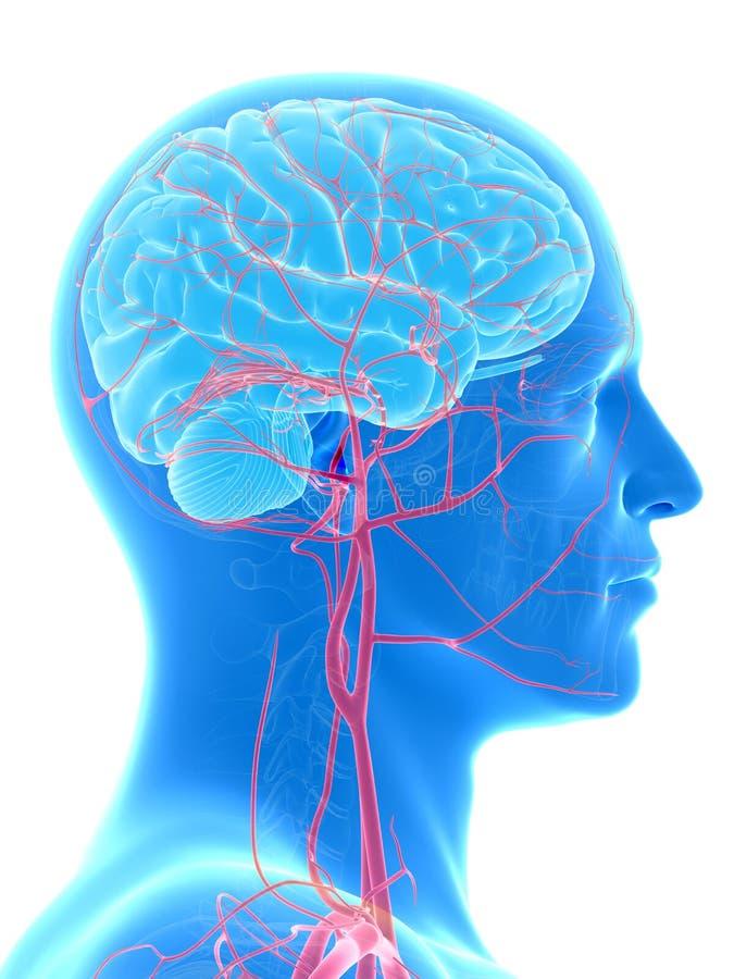 Les artères de cerveau et de tête illustration stock