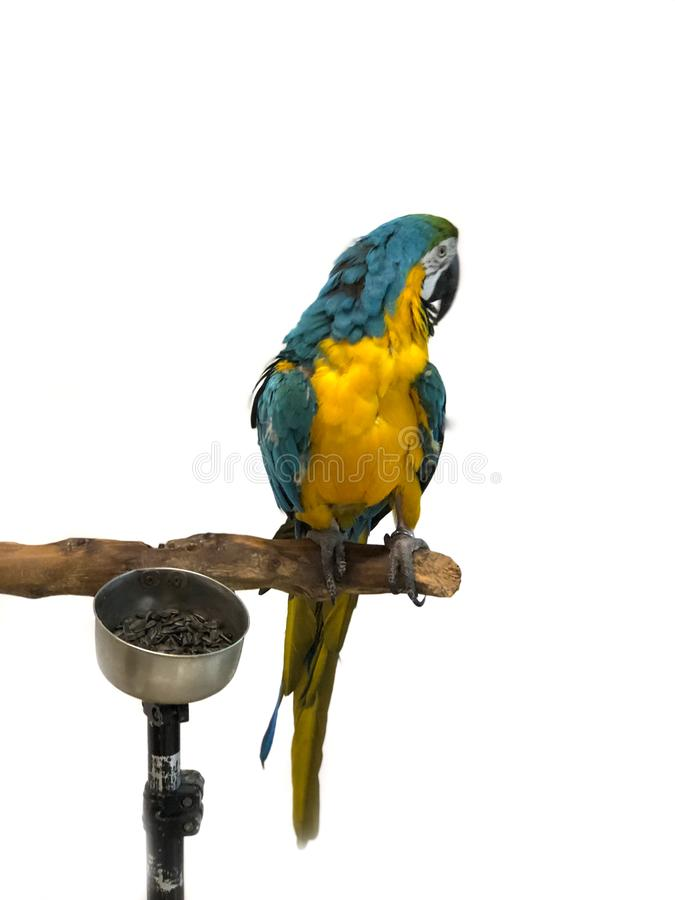 Les arums colorés de perroquet avec le plumage lumineux de couleur bleue de vert jaune et de blanc se repose sur barling photo stock