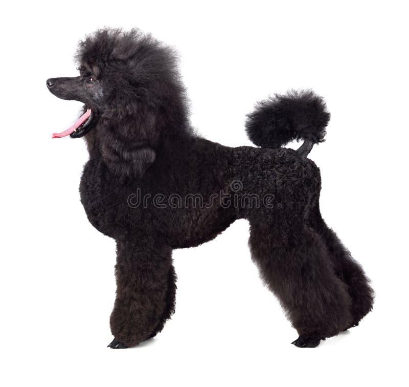 Les bâillements de chien photographie stock libre de droits