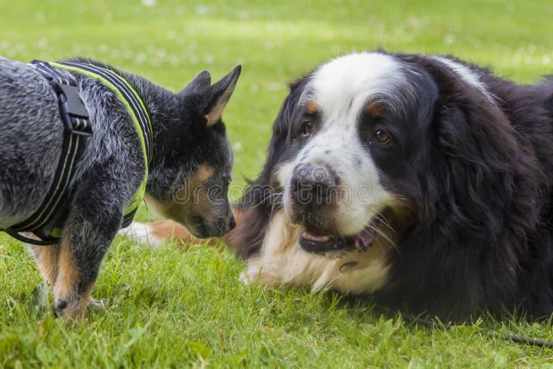 Les bétail australiens poursuivent le chien de chiot et de montagne de Bernese images stock
