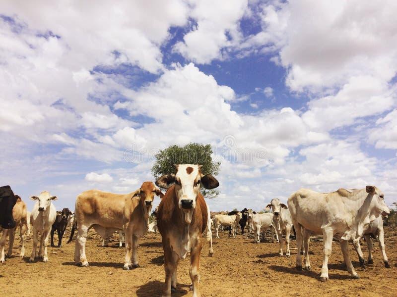 Les bétail postent, le Queensland du nord-ouest image stock