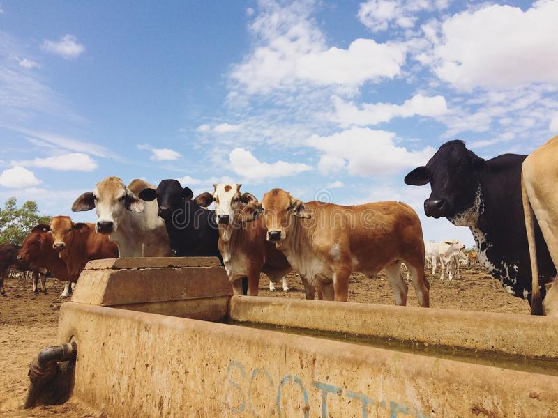Les bétail postent, le Queensland du nord-ouest photographie stock