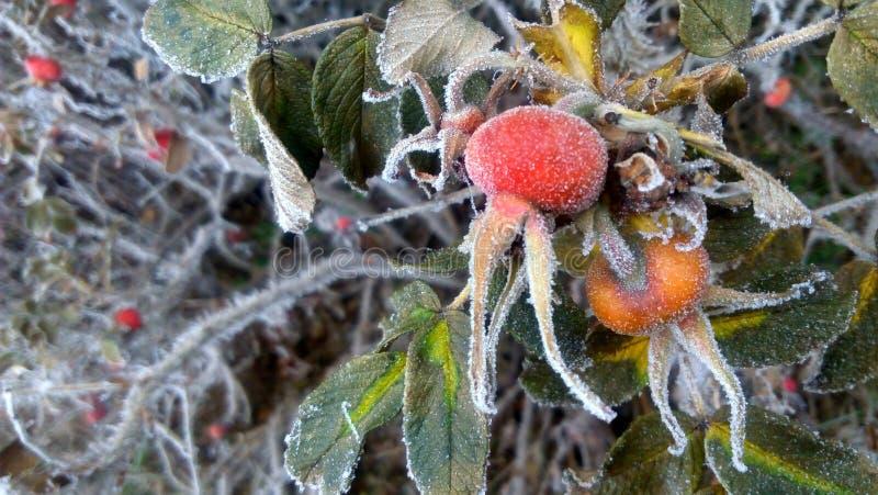 Les baies de la rose sauvage couvertes de gel image libre de droits