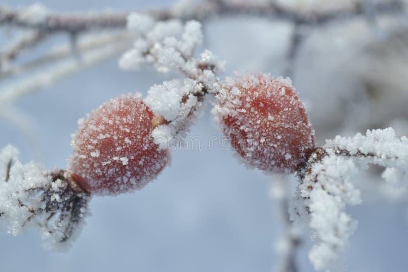 Les baies de sauvage se sont levées les jardin d'hiver-substances ont couvert une gelée photo libre de droits