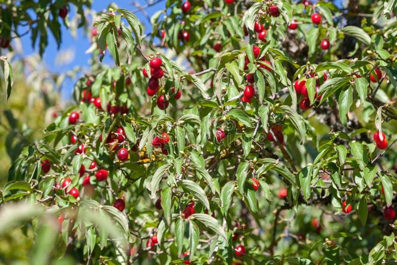 Les baies rouges d'un cornel accrochant sur un buisson images stock