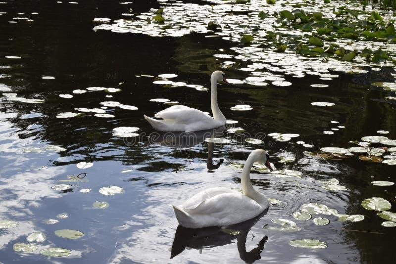 Les bains blancs de cygnes sur l'eau images stock