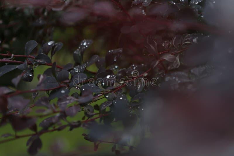 les baisses arrosent laisse la fraîcheur rouge de buisson après pluie photo libre de droits