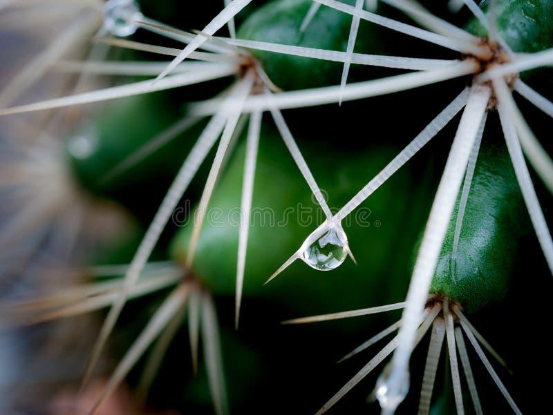 Les baisses de pluie étaient perché sur les épines du cactus photos libres de droits