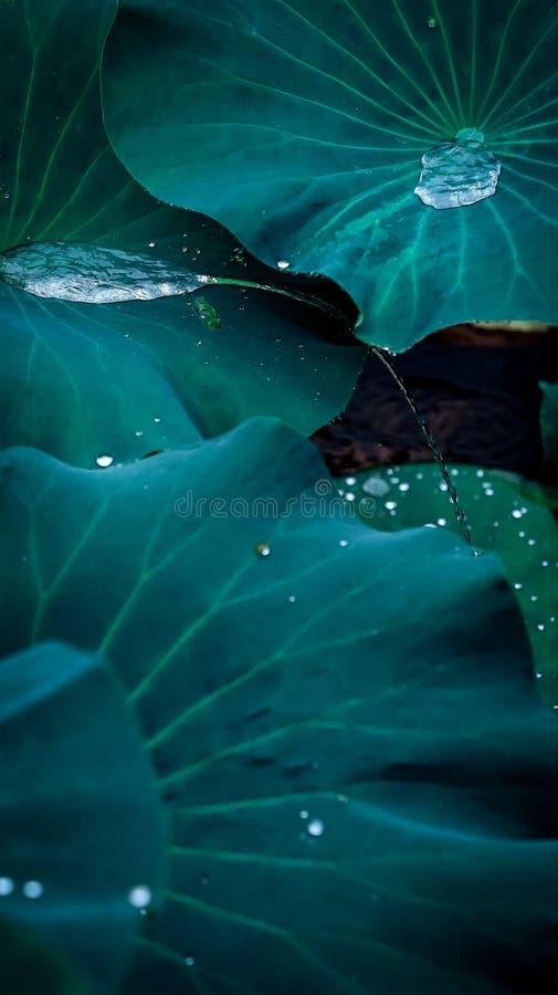 Les baisses en cristal s'égouttaient de douzaine bourgeons de lotus dans le lac images stock