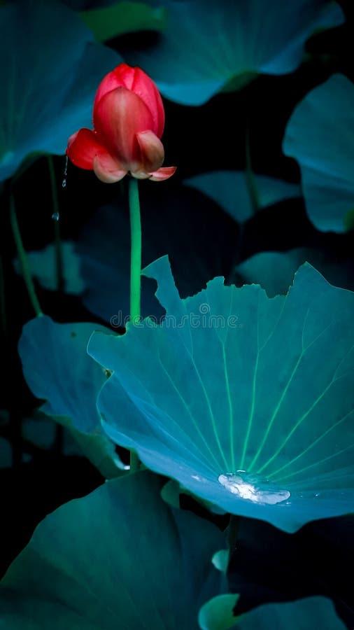 Les baisses en cristal s'égouttaient de douzaine bourgeons de lotus dans le lac photo libre de droits