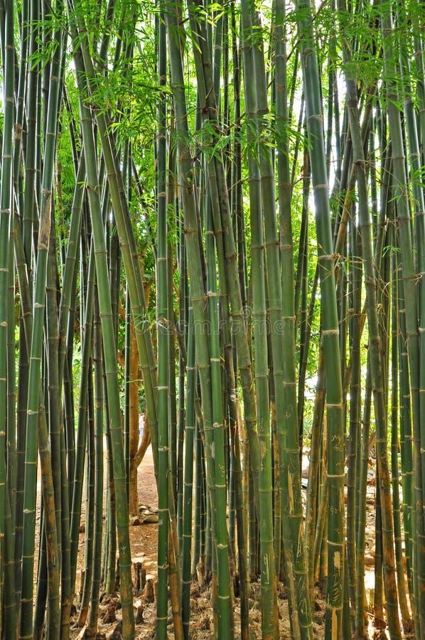 Les bambous image libre de droits