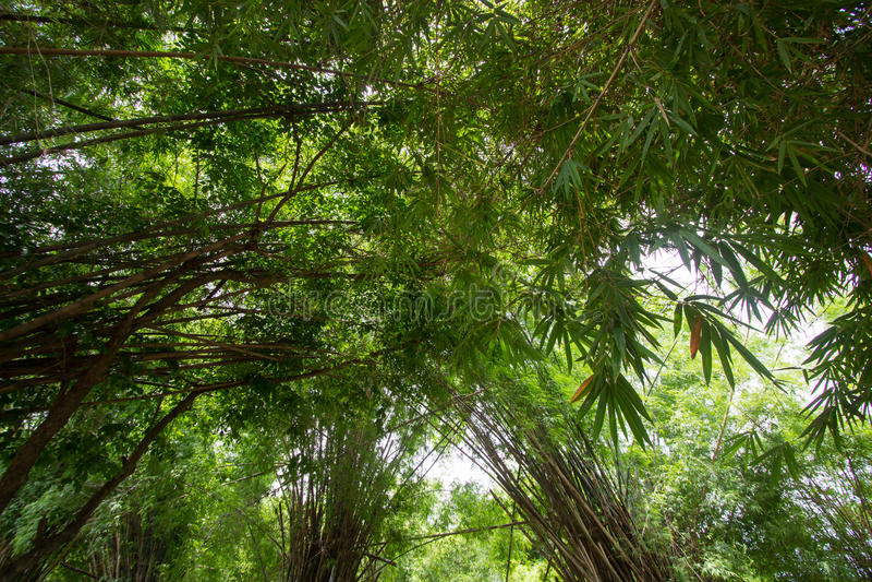 Les bambous chez Waeruwan font du jardinage en parc de PhutthamonthonBuddhist dans le secteur de Phutthamonthon, province de Nakh image libre de droits
