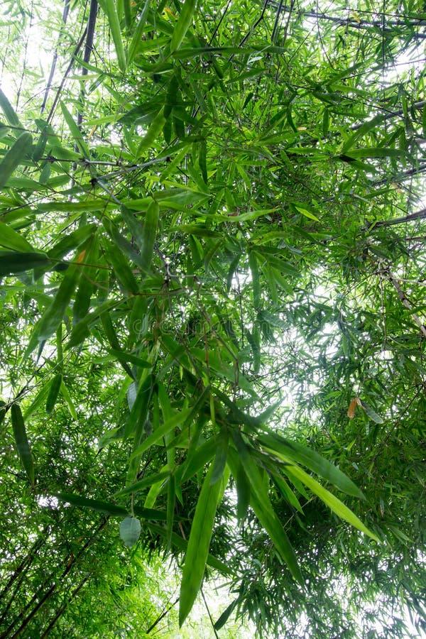 Les bambous chez Waeruwan font du jardinage en parc de PhutthamonthonBuddhist dans le secteur de Phutthamonthon, province de Nakh photographie stock